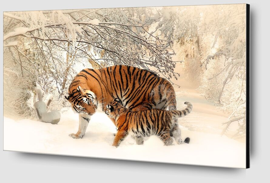 Tigers in the snow from Pierre Gaultier Zoom Alu Dibond Image