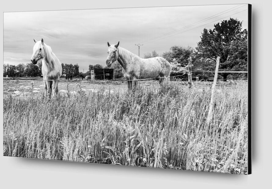 The Horses from Caro Li Zoom Alu Dibond Image