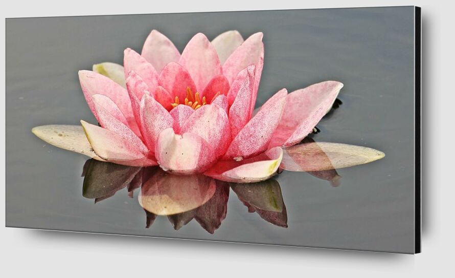 The pink water lily from Pierre Gaultier Zoom Alu Dibond Image