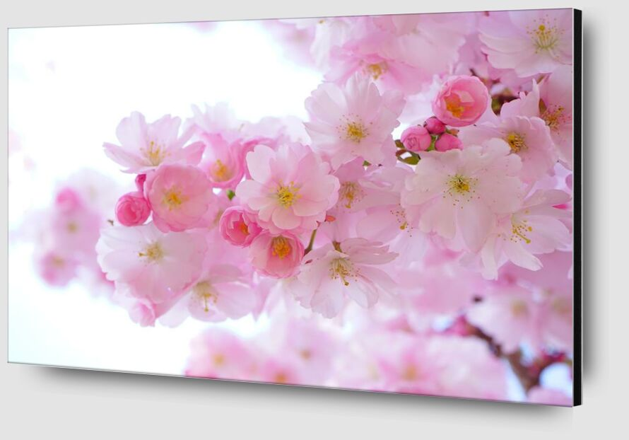 Cherry blossoms from Pierre Gaultier Zoom Alu Dibond Image