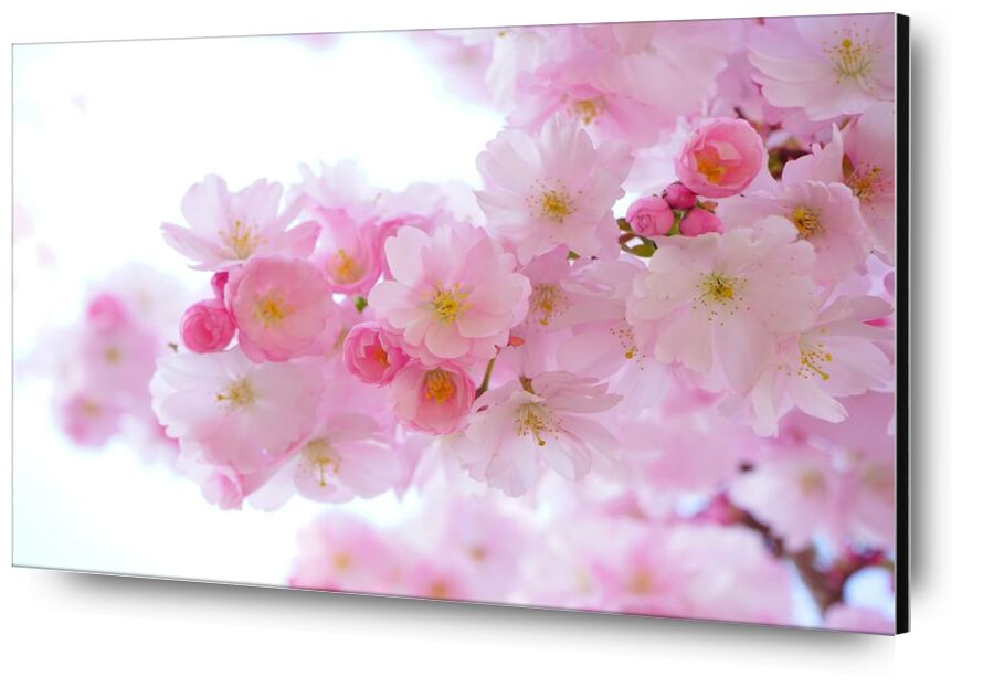 Cherry blossoms from Pierre Gaultier, Prodi Art, bloom, blossom, cherry blossom, flora, flowers, pink, spring, tree