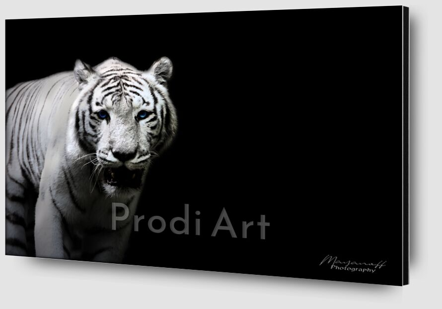 The Siberian Tiger out of the great steppes from Mayanoff Photography Zoom Alu Dibond Image