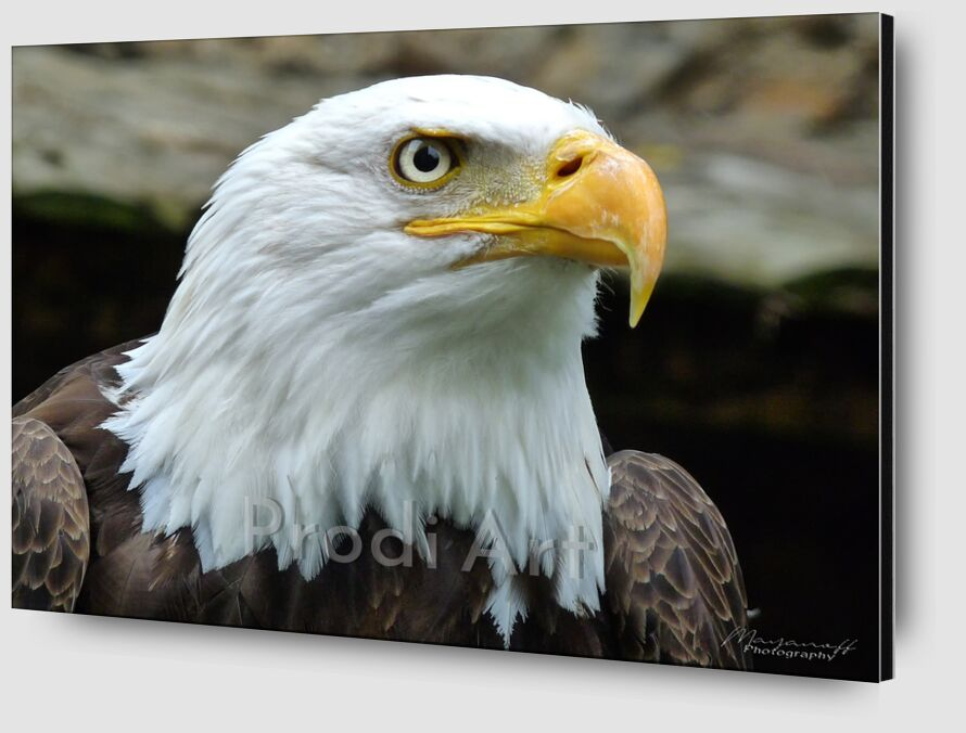 Eye of the Eagle from Mayanoff Photography Zoom Alu Dibond Image