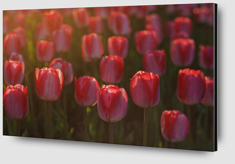 Pink tulips from Pierre Gaultier Zoom Alu Dibond Image