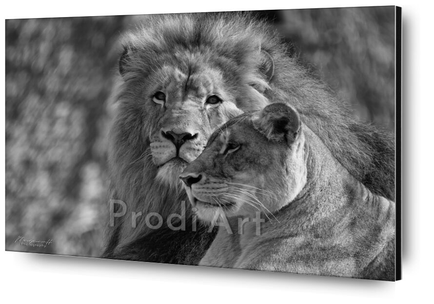 Crossed glances from Mayanoff Photography, Prodi Art, Lion, lioness, black-and-white, animals, felines, lioness, black and white, animals, felines