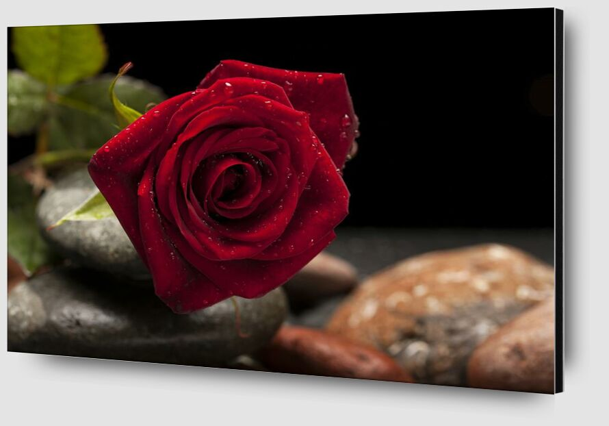 The Red Rose from Pierre Gaultier Zoom Alu Dibond Image