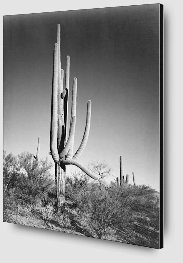 Full View of Cactus and Surrounding Shrubs - Ansel Adams from AUX BEAUX-ARTS Zoom Alu Dibond Image