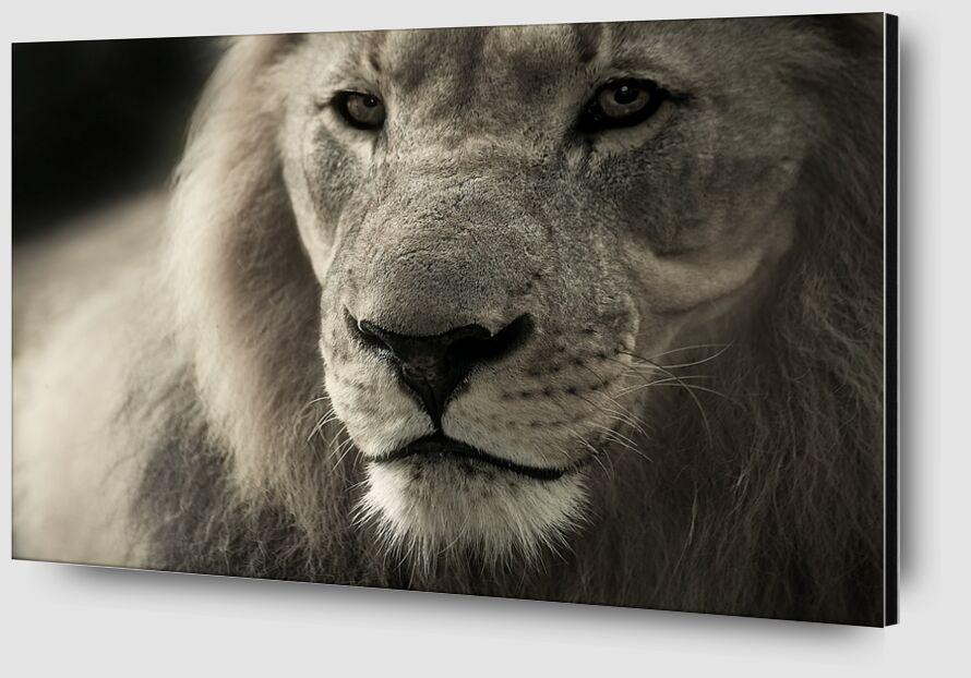 Lion from Pierre Gaultier Zoom Alu Dibond Image