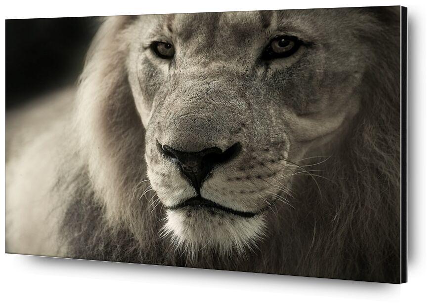 Lion from Pierre Gaultier, Prodi Art, Lion, animal portrait, africa, safari, wild animal, animal, animal world, south africa, nature, predator, fur, Cat, lion portrait, big cat, posing, eyes, outdoors