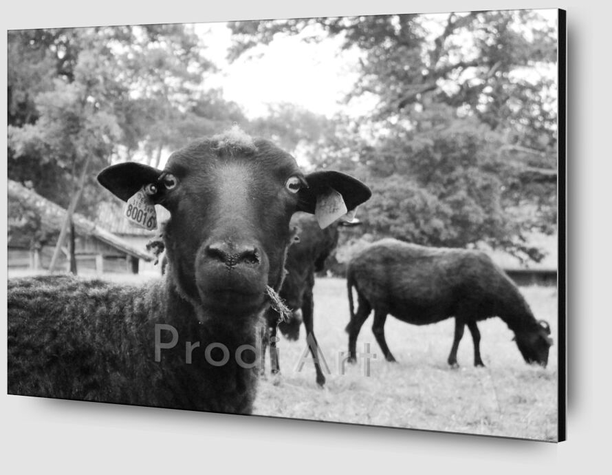 The black sheep from Audrey Clémentine Conilh Anderson Zoom Alu Dibond Image