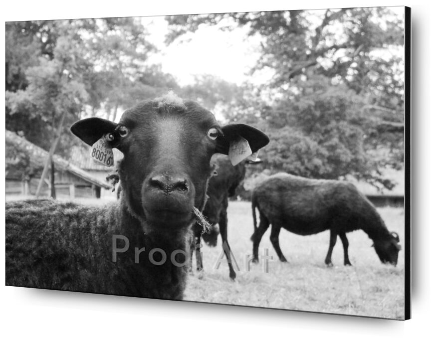 The black sheep from Audrey Clémentine Conilh Anderson, Prodi Art, trees, sheep, black, white, nature, France, South, west