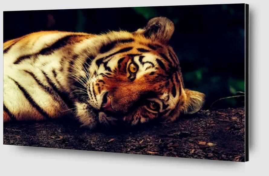 Lying Tiger from Pierre Gaultier Zoom Alu Dibond Image