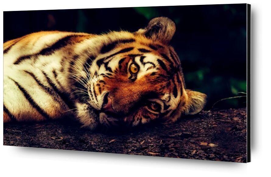 Lying Tiger from Pierre Gaultier, Prodi Art, predator, close-up, macro, resting, wildlife, animal, tiger