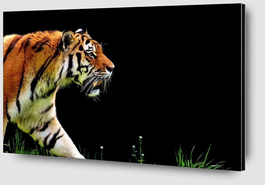 Tiger walking from Pierre Gaultier Zoom Alu Dibond Image