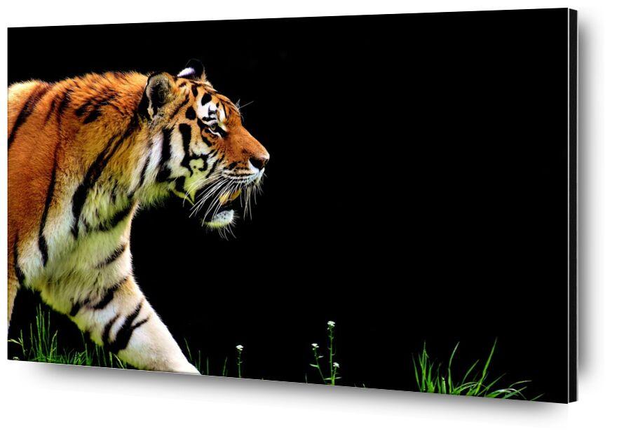Tiger walking from Pierre Gaultier, Prodi Art, tiger, predator, fur, beautiful, dangerous, Cat, wildlife photography, animal world, tierpark hellabrunn, munich