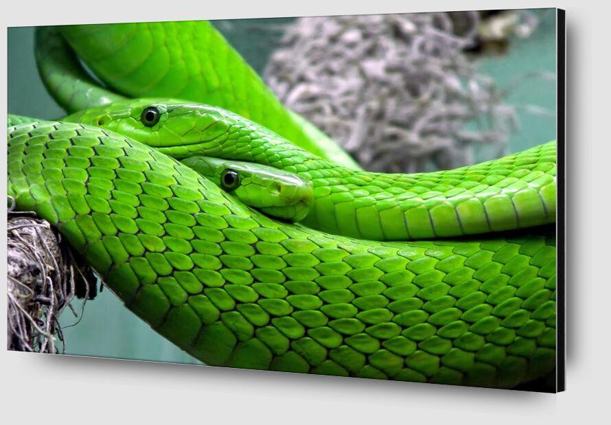 Green manbas from Pierre Gaultier Zoom Alu Dibond Image
