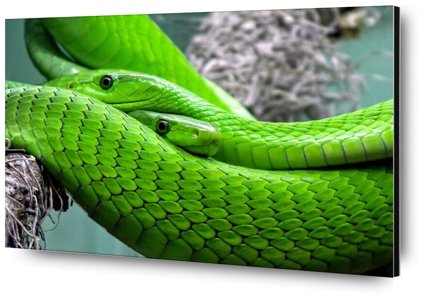 Green manbas from Pierre Gaultier, Prodi Art, poisonous, snake, reptile, poison, pattern, nature, mamba, lizard, green mamba, green, animal