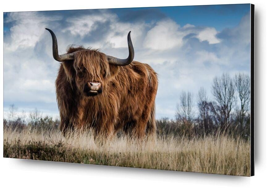 La prairie du buffle de Pierre Gaultier, Prodi Art, ferme, bétail, prairie, animal, mammifère, nature, paysage, taureau