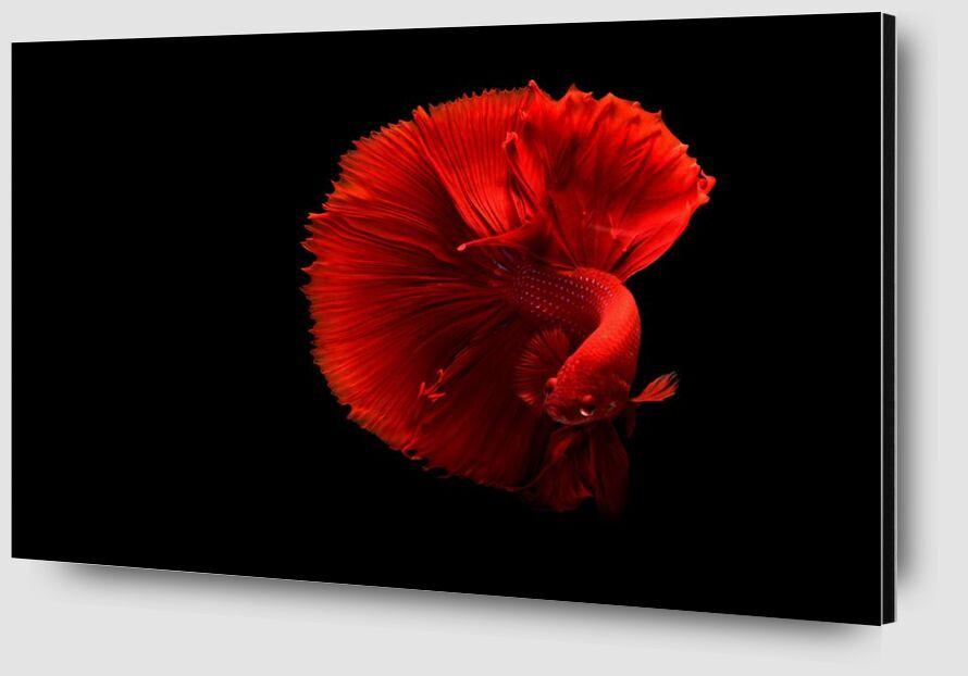 Siamese fighting fish from Pierre Gaultier Zoom Alu Dibond Image