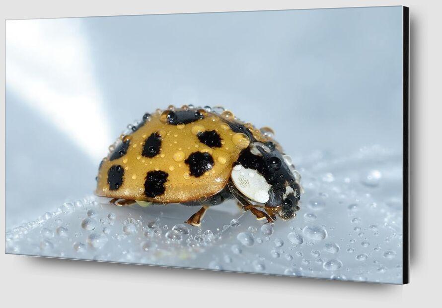 Yellow ladybird from Pierre Gaultier Zoom Alu Dibond Image