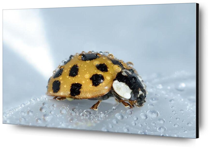 Yellow ladybird from Pierre Gaultier, Prodi Art, water, macro, ladybug, insect, harmonia, drops, beetle, axyridis