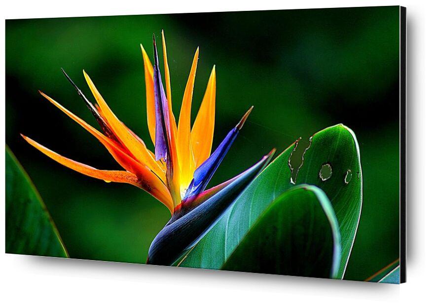 Zoom on strelitzia from Pierre Gaultier, Prodi Art, bloom, blossom, close-up, environment, floral, flower, leaves, plant, stem, strelitzia, wildflower