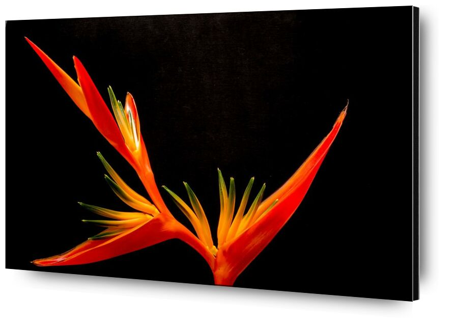 Colors of an orchid from Pierre Gaultier, Prodi Art, birds of paradise fl, bloom, close, closeup, flower, orange, orchid