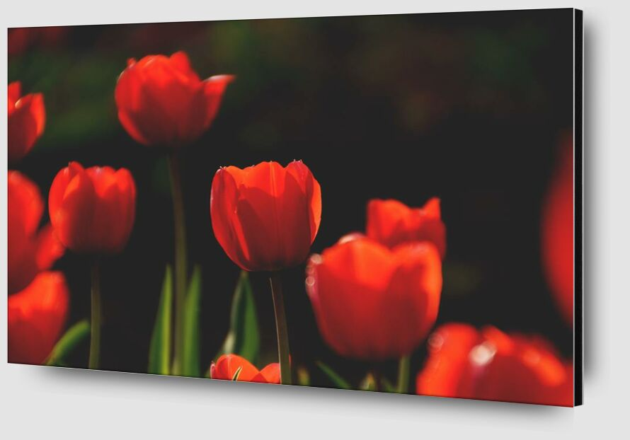 Our red tulips from Pierre Gaultier Zoom Alu Dibond Image