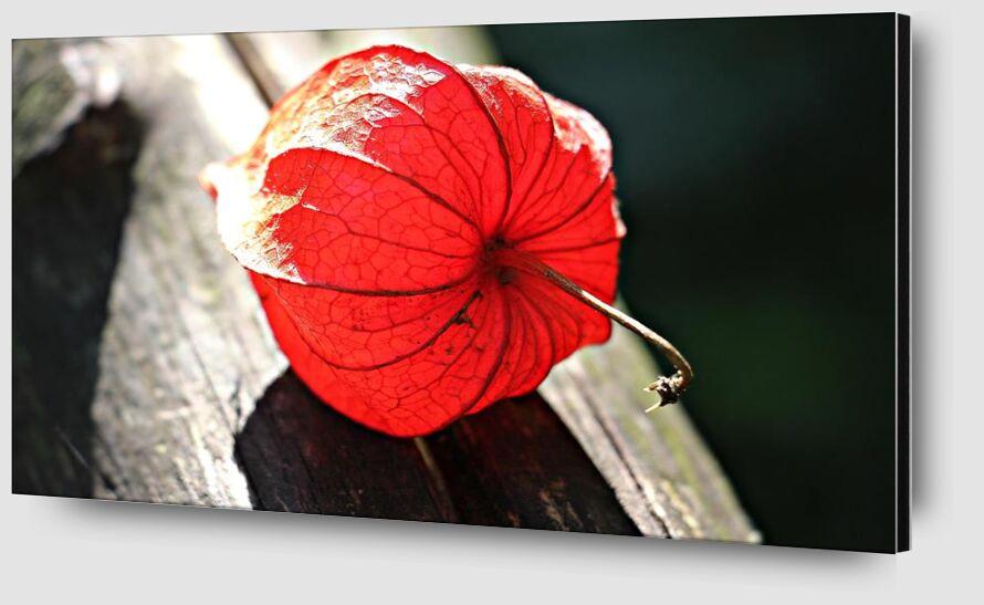 Lampion of flower from Pierre Gaultier Zoom Alu Dibond Image