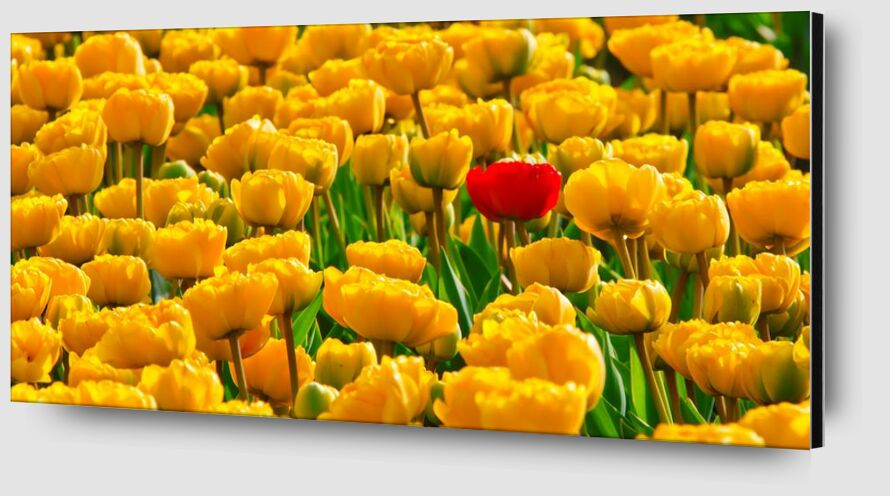 Fields of tulips from Pierre Gaultier Zoom Alu Dibond Image