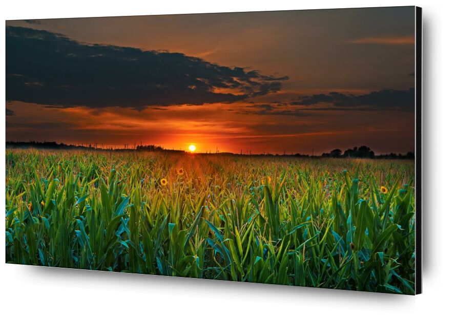 الشفق from Aliss ART, Prodi Art, crop, corn field, wheat, sunset, sunflowers, Sun, summer, sky, rural, outdoors, nature, landscape, growth, grass, flowers, field, farmland, farm, evening, dusk, dawn, cropland, countryside, clouds, agriculture