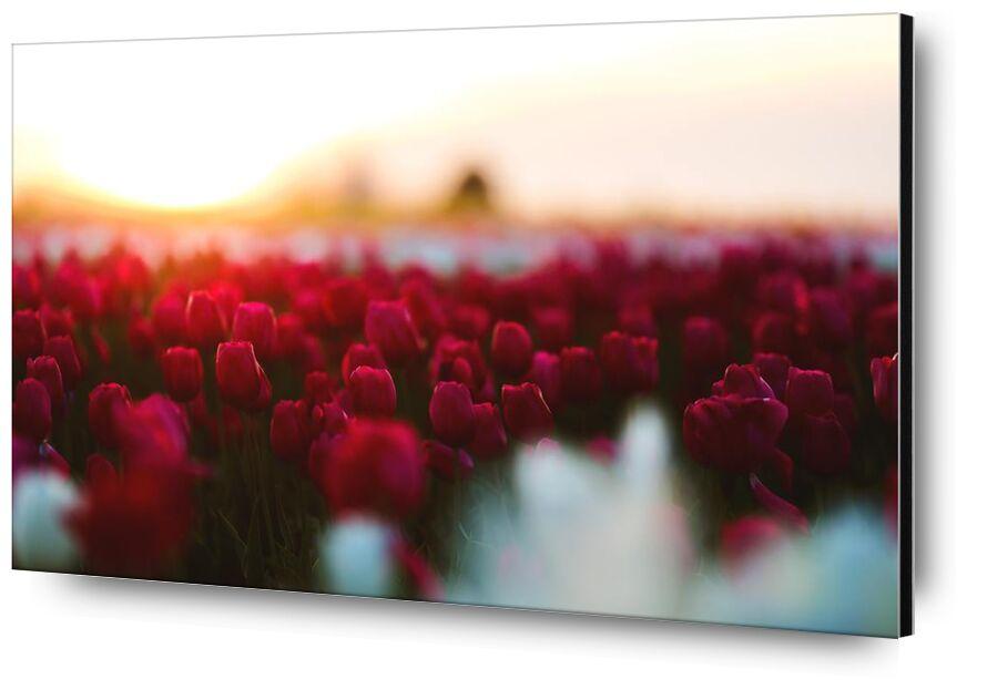 Tulip Red from Aliss ART, Prodi Art, pink wallpaper, tulips, tulip, season, red, plant, petals, petal, nature, HD wallpaper, garden, flowers, flora, field, depth of field, flower, blooming, bloom, beautiful
