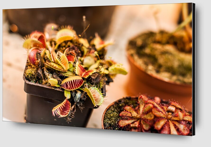 Plantes carnivores - serre tropicale de Marie Guibouin Zoom Alu Dibond Image