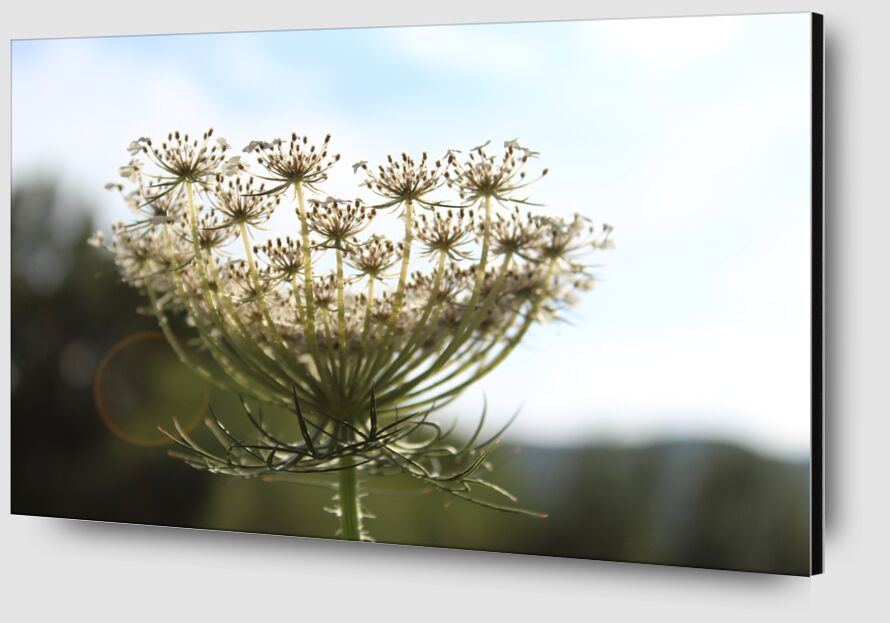 Fleur en lumière de jenny buniet Zoom Alu Dibond Image