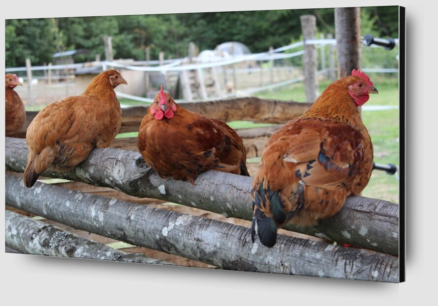 Les poulettes de jenny buniet Zoom Alu Dibond Image