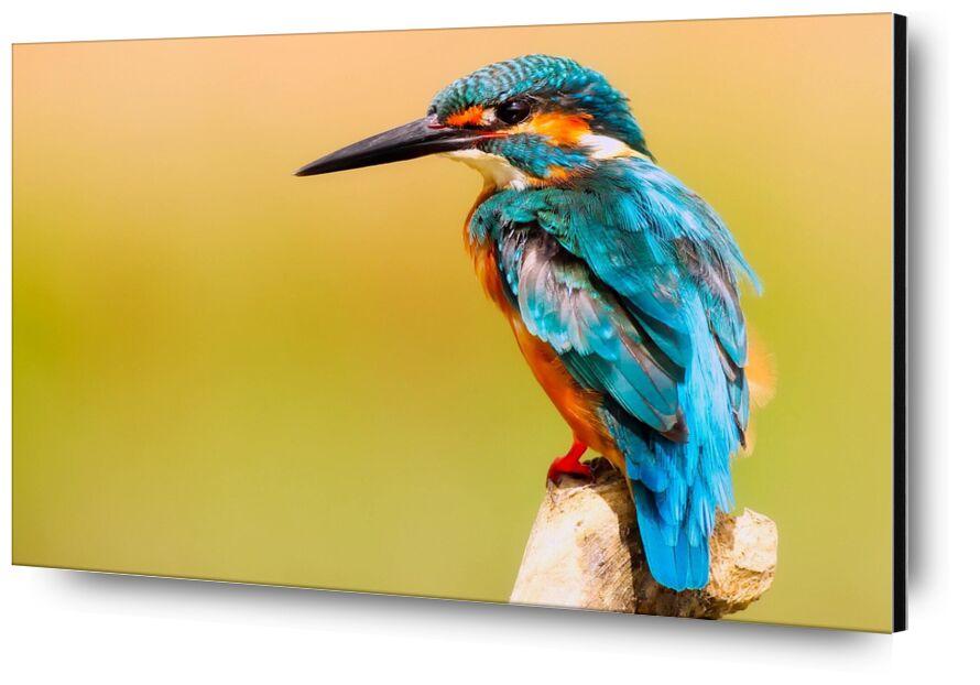 Kingfisher from Pierre Gaultier, Prodi Art, wood, wings, wildlife, wild, tropical, view, side, portrait, plumage, outdoors, ornithology, macro, long, little, kingfisher, fly, flight, feathers, exotic, color, bird, beautiful, beak, avian, animal