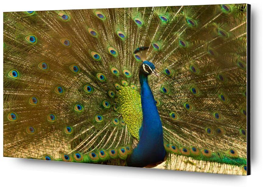 Les ailes du pan de Pierre Gaultier, Prodi Art, animal, oiseau, bleu, brillant, coloré, élégant, exposition, plumes, vert, tête, mâle, modèle, paon, montrant, queue, faune