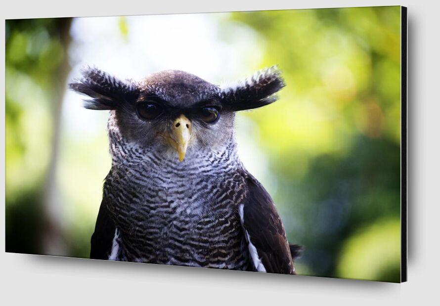 Owlet from Pierre Gaultier Zoom Alu Dibond Image