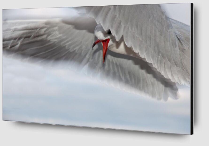 The gull race from Pierre Gaultier Zoom Alu Dibond Image