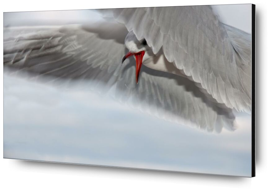 The gull race from Pierre Gaultier, Prodi Art, animal, bird, close-up, seagull