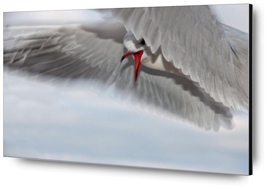 The gull race from Pierre Gaultier, Prodi Art, animal, bird, close-up, seagull