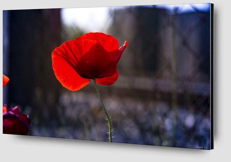 Tulipe de Caro Li Zoom Alu Dibond Image