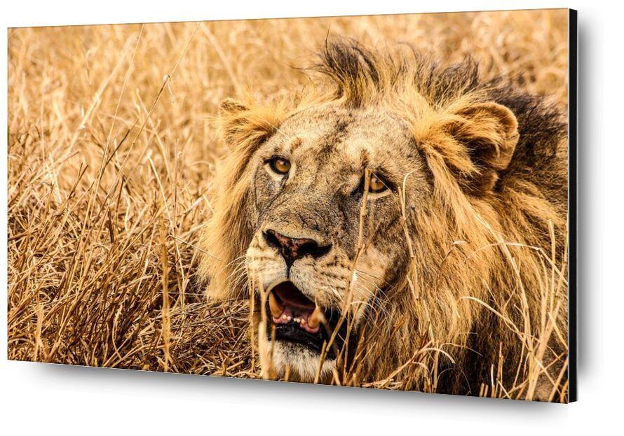 Puissance from Aliss ART, Prodi Art, landscape  lion, daytime, carnivore, big, wildlife, wild animal, wild, whiskers, safari, predator, outdoors, outdoor, nature, mammal, hunter, head, grass, fur, feline, eyes, dangerous, close-up, big cat, animal photography, animal