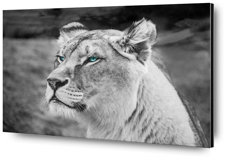 Piercing gaze from Aliss ART, Prodi Art, lioness, close up, wildlife, wild animal, wild, whiskers, predator, mammal, hunter, head, fur, feline, felidae, face, eyes, endangered, defocused, dangerous, carnivore, blurred background, black-and-white, big cat, big, animal photography, animal