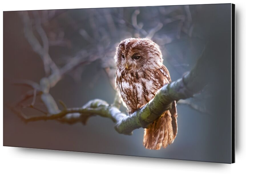 The owl's wait from Pierre Gaultier, Prodi Art, bird, predator, branch, nature, winter, owl