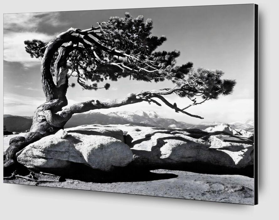 Jeffrey Pine, Sentinel Dome - ANSEL ADAMS 1940 desde AUX BEAUX-ARTS Zoom Alu Dibond Image