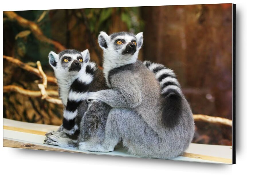 نظرة مكثفة from Aliss ART, Prodi Art, primate, lemurs, lemur catta, furry, wildlife, outdoors, nature, cute, animals