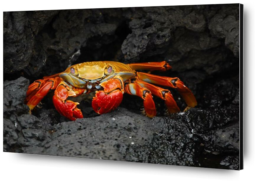 Crabe de Aliss ART, Prodi Art, fruits de mer, crabe rouge, grapsus grapsus, crustacé, Crabe, des roches, créature, animal