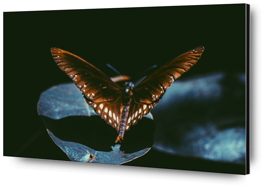 Sombre from Aliss ART, Prodi Art, butterfly, close-up, dark, insect, macro, wings, lepidoptera, monarch, moth, Srilanka