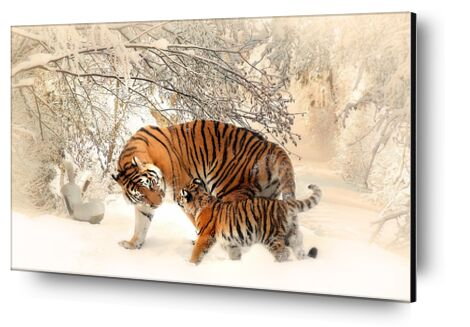 Tigers in the snow from Pierre Gaultier, Prodi Art, Art photography, Aluminum mounting, Prodi Art